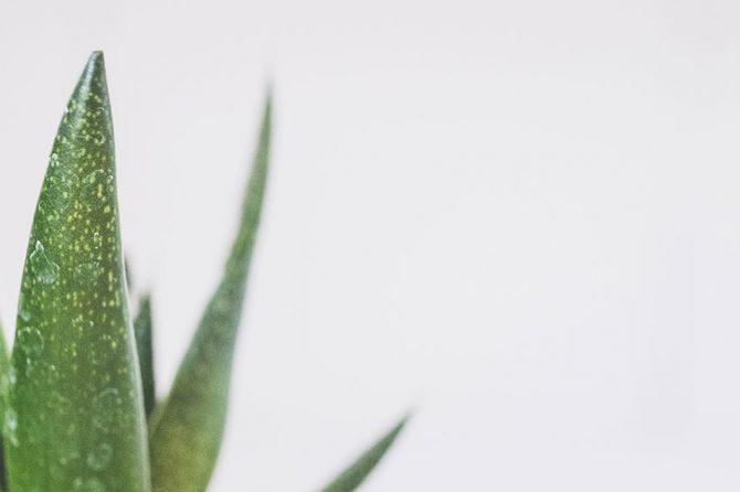 Alveja (lat.nos.Aloe vera)