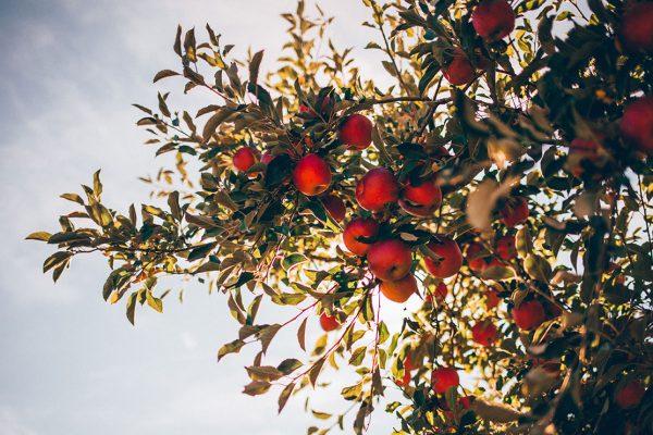 Āboli un veselība (Iekožamies ābolā)
