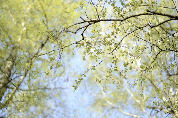 Siena drudzis – apgrūtinājums jaukajā ziedēšanas laikā